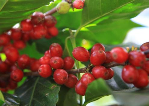 Lai tạo thành công giống cà phê mới ở Tây Nguyên