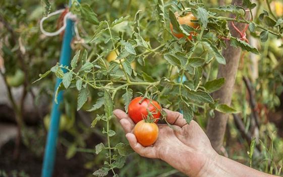 Lai tạo thành công giống cà chua mới