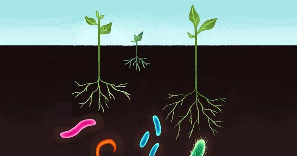 Giúp kích thích hệ sinh vật trong đất