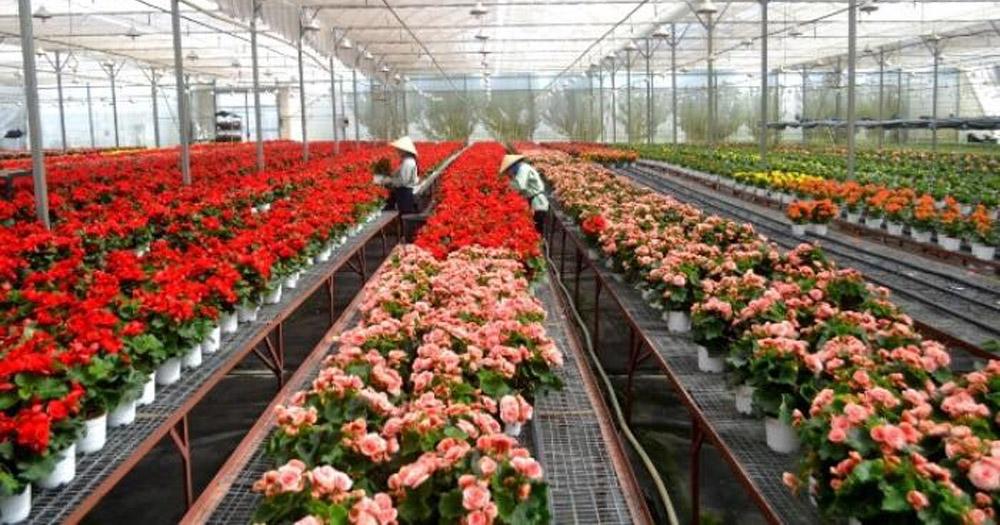 Cách trồng và chăm sóc hoa hải đường đơn giản, hiệu quả