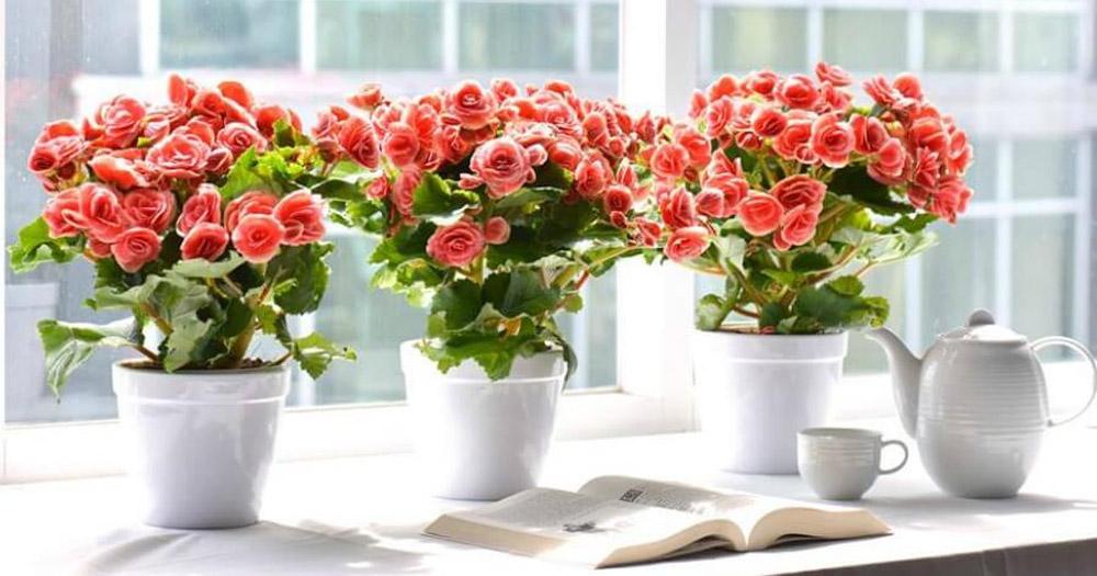 Đặc điểm, ý nghĩa của hoa hải đường