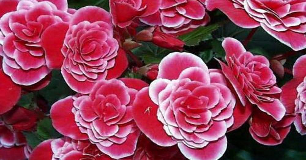 Giới thiệu về hoa hải đường