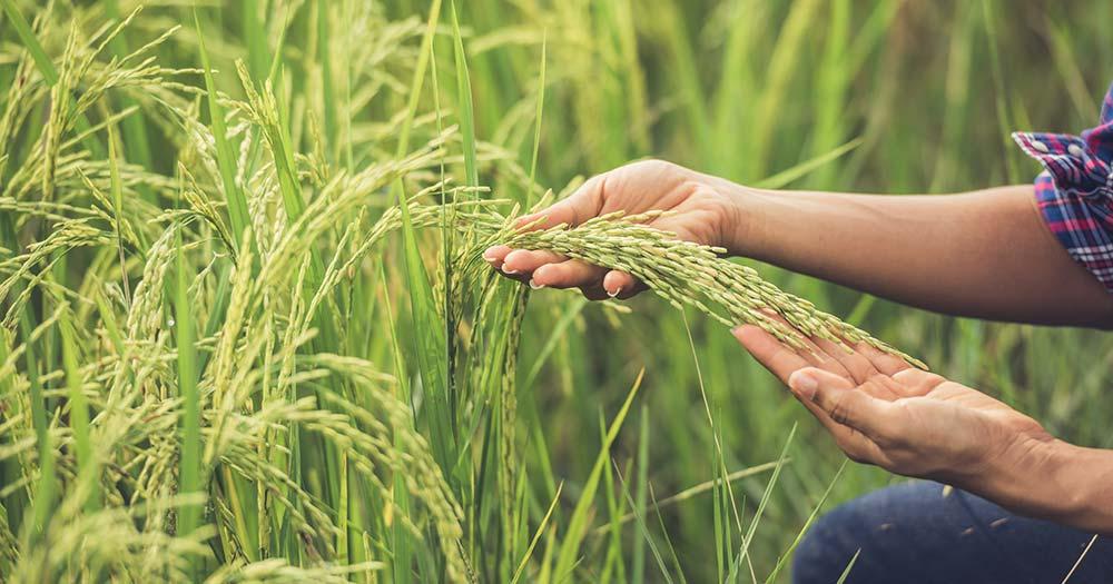 Cách phòng ngừa và xử lý các loại bệnh có hại cho cây lúa