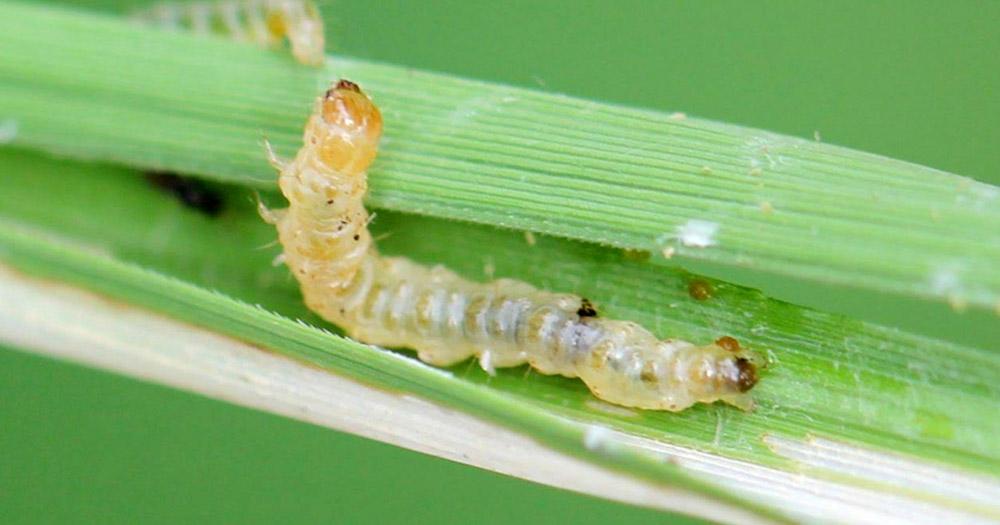 Sâu cuốn lá là loại bệnh thường gặp ở cây lúa