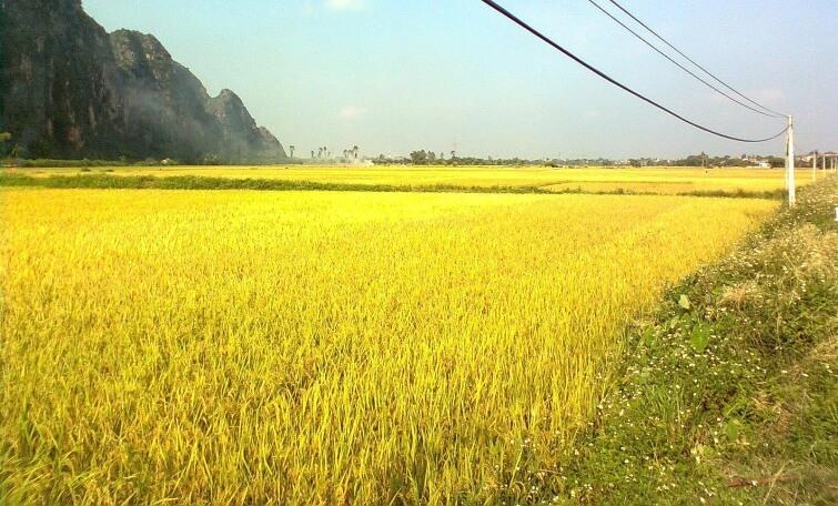 trồng cây gì có đầu ra ổn định? - trồng lúa